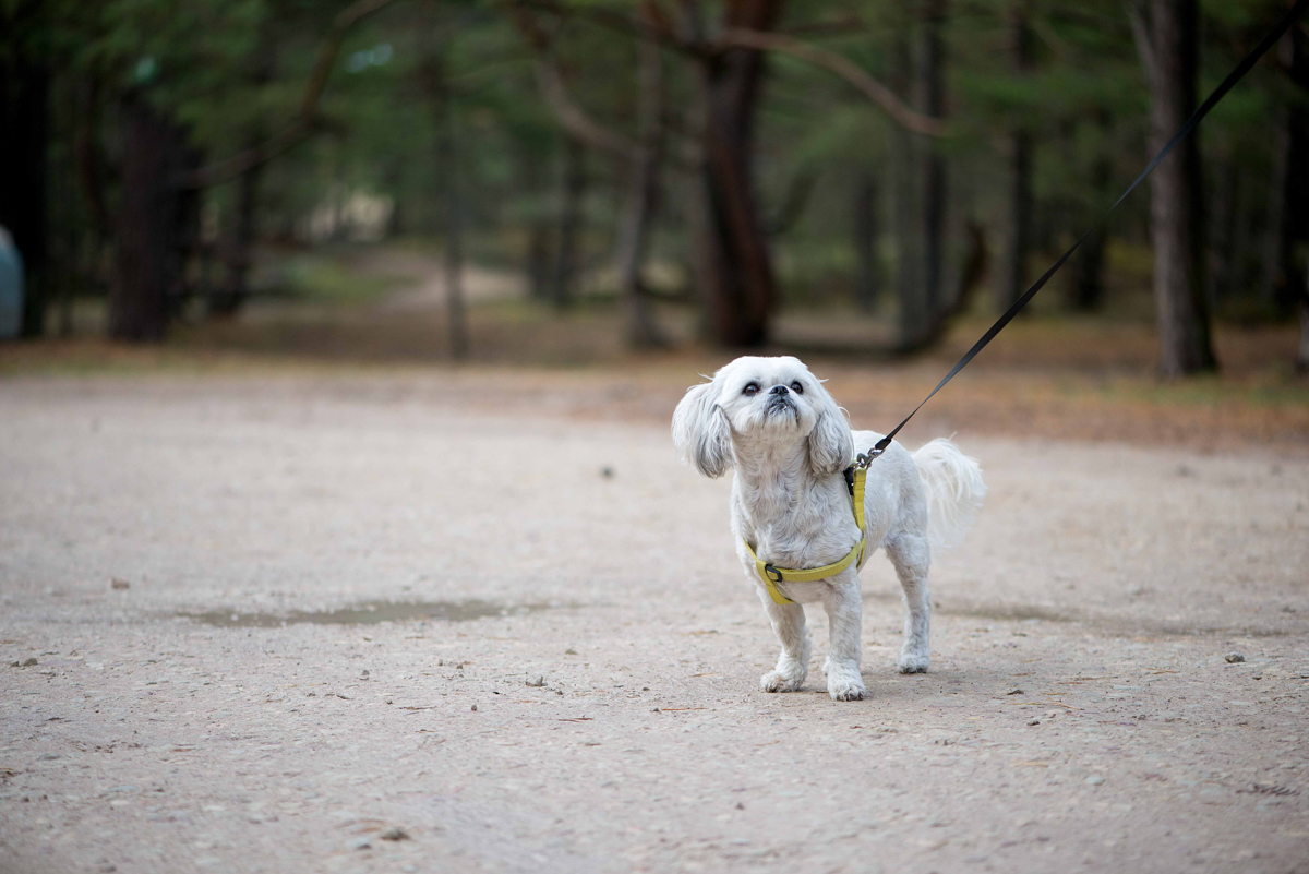 A Shih Tzu is on a tree-lined residential path. Our client suffered a dog bite injury when a dog attacked her while walking her Shih Tzu in her Massachusetts neighborhood