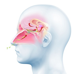 medical illustration of sense of smell