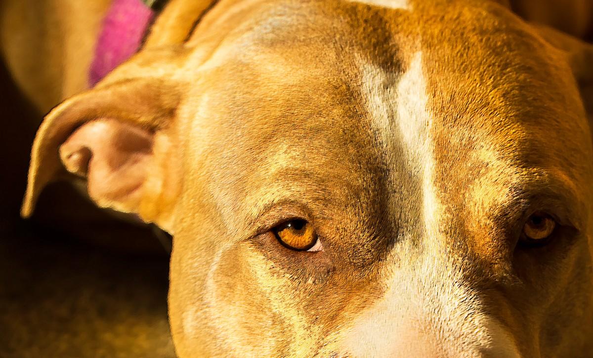 pit bull attack tacoma