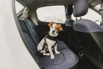 Dog on the Back Seat of a Car