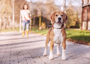 Friendly-looking beagle on a long leash