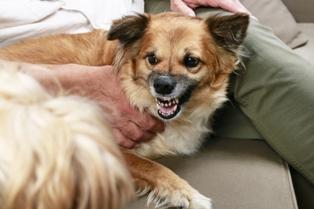 Snarling, aggressive small dog