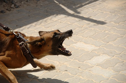 German Shepard Barking And Bearing Teeth