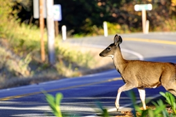 Deer Crossing an Indiana Roadway