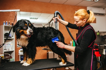 Woman Grooming a Large Dog