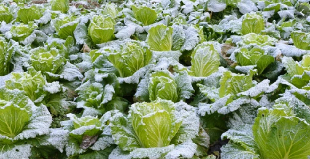 Frozen Crops Texas Insurance Claim Lawyers Texas