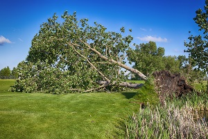 A large tree blown down in a wind storm has become an unwanted obstacle on the golf course