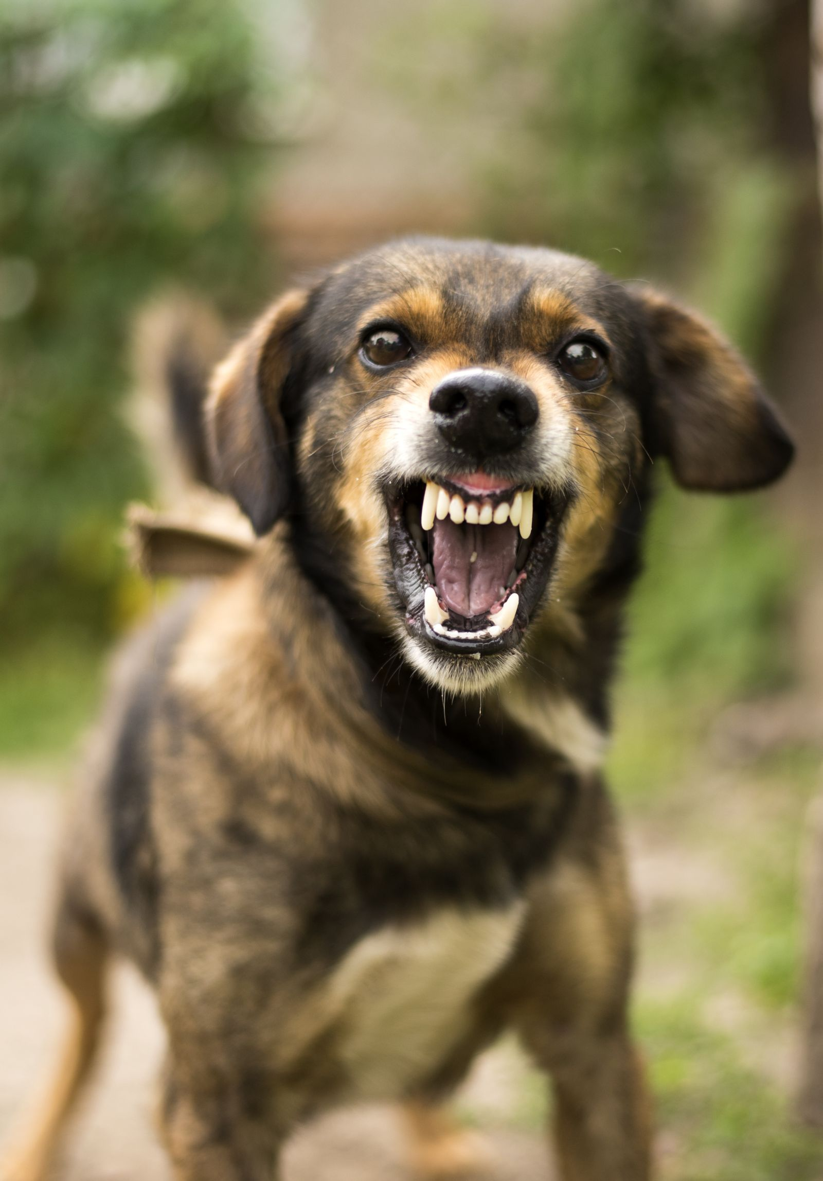 Dog Barking and Showing Its Teeth