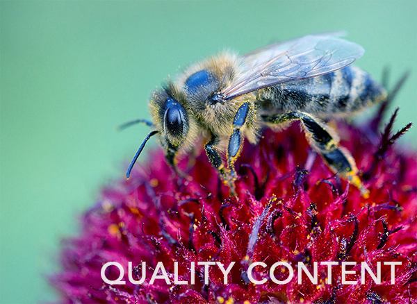 Bee on a flower symbolizing quality content