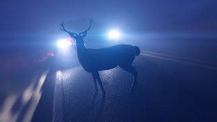 Deer in the Path of a Car on a Roadway