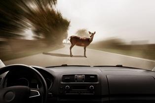 Car accidents involving animals