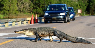 animal collisions in FL
