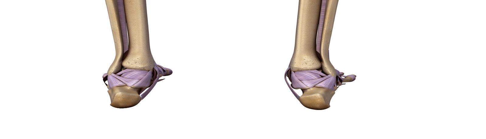 Luxury Posterior Tibial Tendon Anatomy Photo - Anatomy Ideas ...