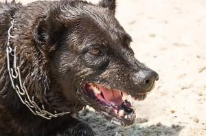 Aggressive dog showing teeth