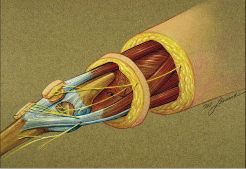 Illustration of nerves in knee