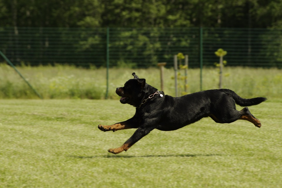rottweiler dog attack
