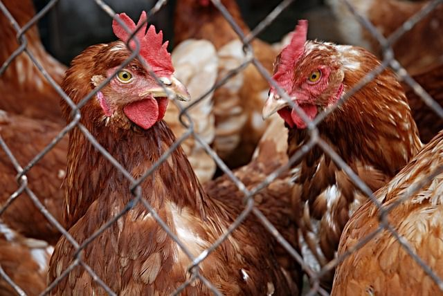 poultry factory injuries