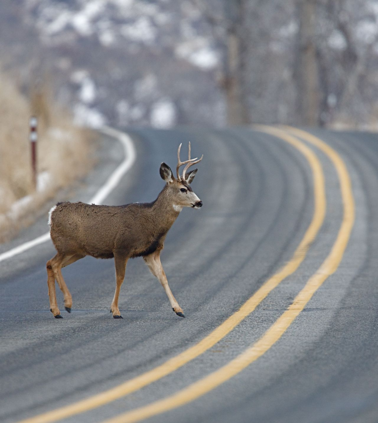 Deer-Car Accidents