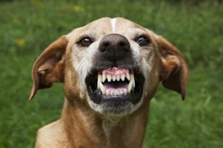 An Aggressive Dog Baring His Teeth