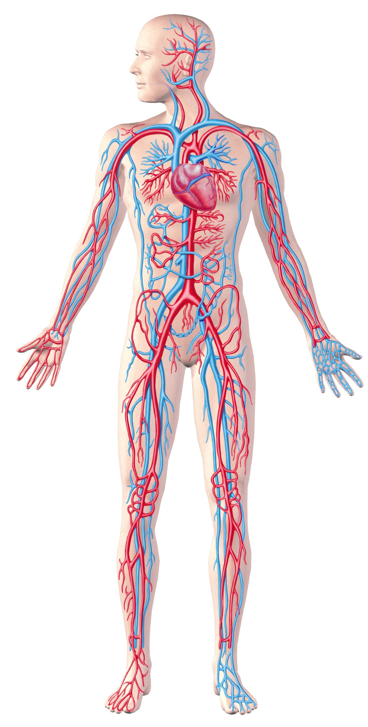 Graphic image of a human body circulatory system