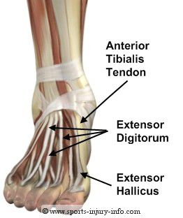 tendon on top of foot and ankle