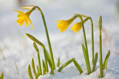 Daffodil Blooming