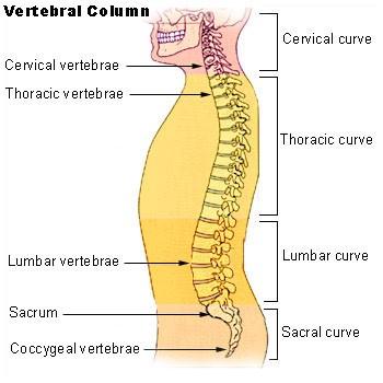 http://upload.wikimedia.org/wikipedia/commons/f/f8/Illu_vertebral_column.jpg