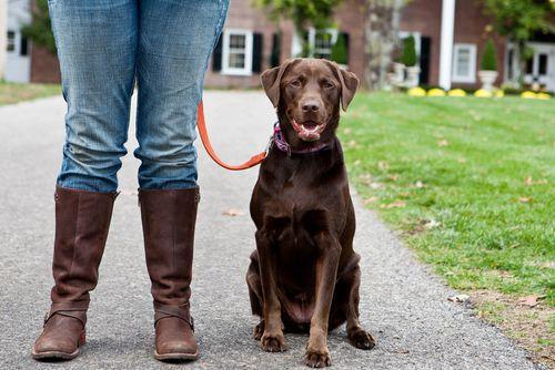 Womans legs standing next to pet labrador retriever