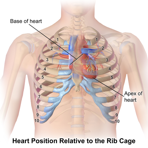 location of heart in rib cage