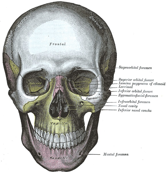 anatomy of the skull and face