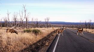 deer_on_road