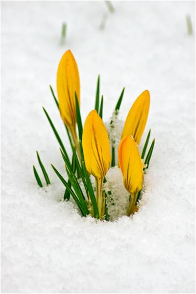 Yellow Crocus in the Snow