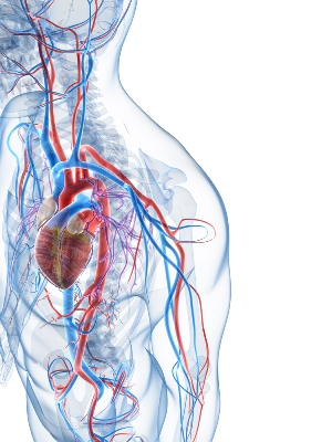 medical illustration of a heart, veins, and arteries