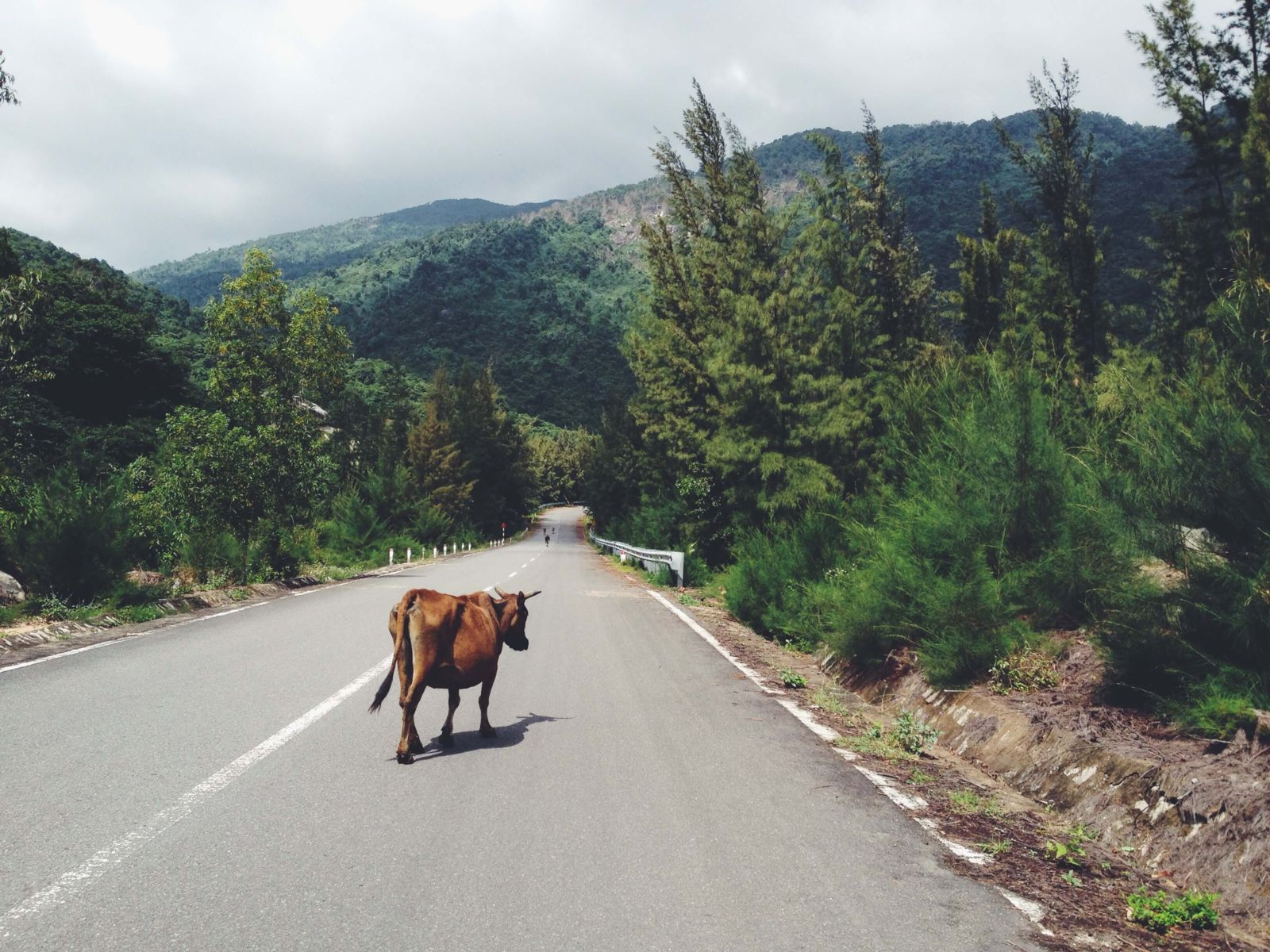 Cow in the road causing less than ideal driving conditions
