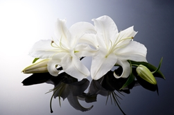 White Lily on a Black Casket