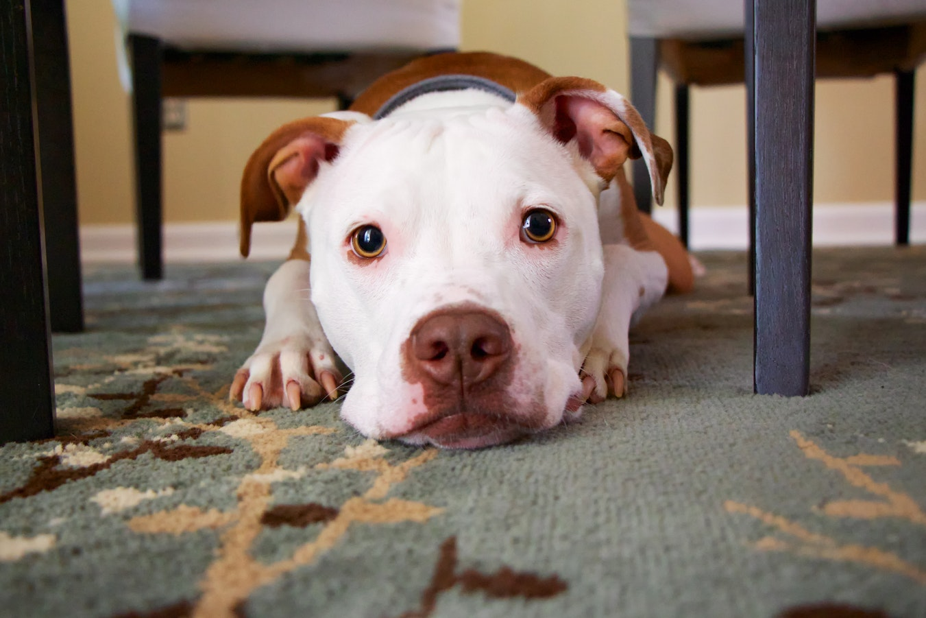 Pitbulls might deserve their bad rap