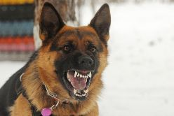 An Aggressive German Shepard