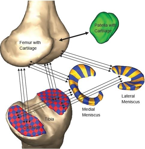 Basic Knee Injury Anatomy | The Boles Firm