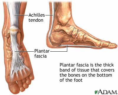 Plantar Fascia, a ligament extending from the heel to the toes.