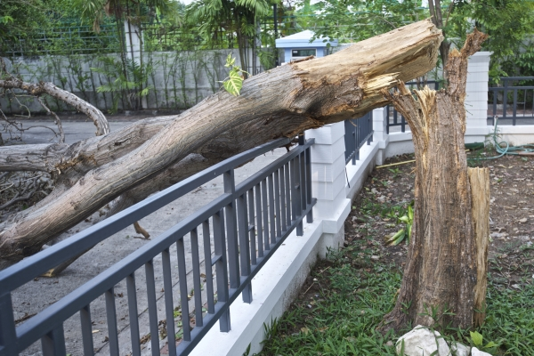 Tree damaged by heavy winds