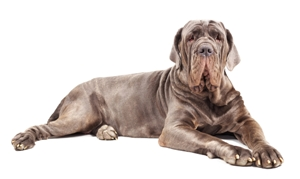 Large mastiff dog as a dangerous breed