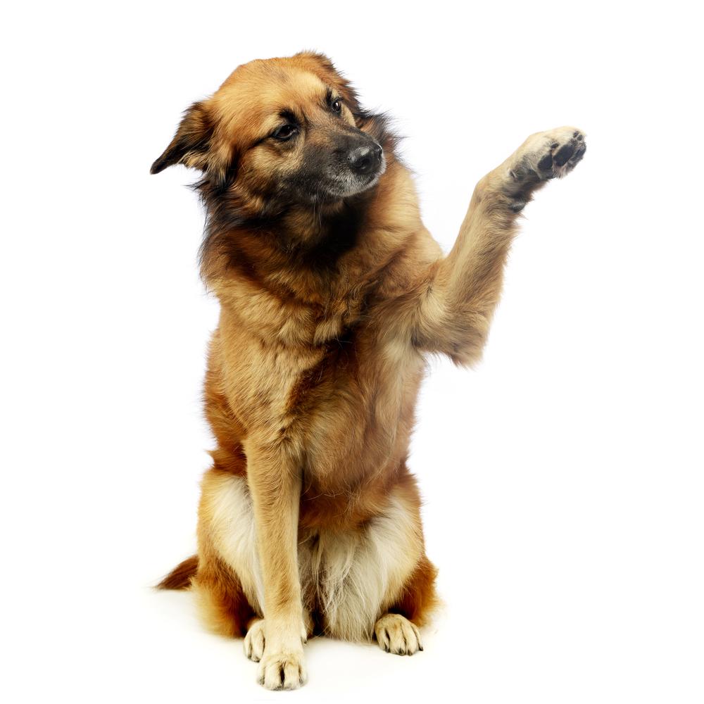 Mixed-breed dog raising his paw
